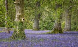 Wiosen Bluebells w łące i lesie obraz stock