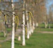 Wiosen brzozy z baziami i zieleń liśćmi fotografia stock