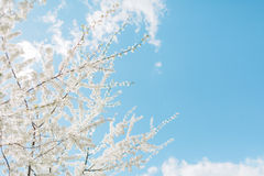 Wiosen Czereśniowi okwitnięcia, biali kwiaty Zdjęcia Royalty Free