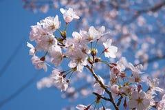 Wiosen Czereśniowi okwitnięcia, menchia kwiaty Obrazy Stock