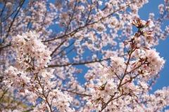Wiosen Czereśniowi okwitnięcia, menchia kwiaty Zdjęcia Royalty Free