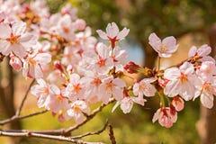 Wiosen Czereśniowi okwitnięcia, menchia kwiaty Fotografia Royalty Free