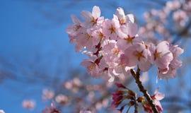 Wiosen Czereśniowi okwitnięcia, menchia kwiaty Obraz Stock