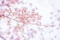 Wiosen Czereśniowi okwitnięcia w Japonia Zdjęcia Royalty Free