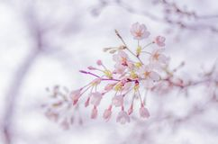 Wiosen Czereśniowi okwitnięcia w Japonia Obraz Stock