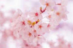 Wiosen Czereśniowi okwitnięcia w Japonia Fotografia Stock