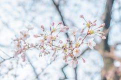 Wiosen Czereśniowi okwitnięcia w Japonia Zdjęcie Stock