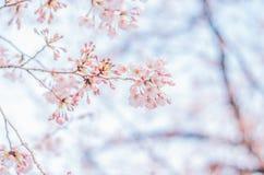 Wiosen Czereśniowi okwitnięcia w Japonia Obraz Royalty Free