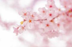 Wiosen Czereśniowi okwitnięcia w Japonia Obrazy Stock