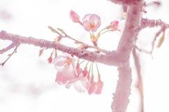 Wiosen Czereśniowi okwitnięcia w Japonia Zdjęcie Royalty Free