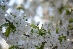 Wiosen czereśniowych okwitnięć kwiatów piękny kartka z pozdrowieniami zdjęcie stock
