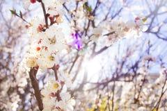 Wiosen czereśniowych okwitnięć zbliżenie, białego kwiatu słoneczny dzień i brigh, Zdjęcia Royalty Free
