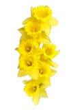 Wiosen daffodils rabatowi lub ramowy tło obrazy stock