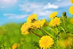 Wiosen dandelions Zdjęcie Royalty Free