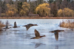 Wiosen Drewniane kaczki Fotografia Royalty Free