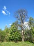 Wiosen drzewa, Lithuania Obrazy Stock