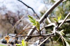 Wiosen gałąź E zielone liście r Wiosna w mieście r Młodzi liście obraz royalty free