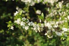 Wiosen gałąź kwiat Fotografia Royalty Free