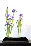 Wiosen ikebany z błękitnymi irysami, japoński kwiatu przygotowania Zdjęcia Royalty Free