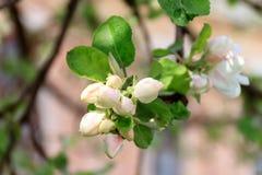 Wiosen kwiatonośne jabłonie zdjęcie stock