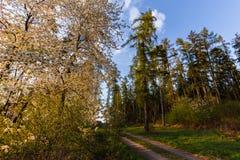 Wiosen kwiatonośni drzewa i lasowa droga Obrazy Royalty Free