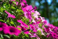 Wiosen menchii kwiatów kwiat w wiosna sezonie Zdjęcie Royalty Free
