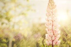 Wiosen menchii kwiaty Zdjęcie Royalty Free