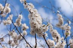 Wiosen okwitnięć tła gałęziasty niebieskie niebo Zdjęcia Royalty Free