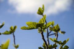 Wiosen okwitnięcia: figi drzewo pcha swój gałąź w kierunku niebieskiego nieba pokazuje pierwszy liście które r w backlight obrazy stock