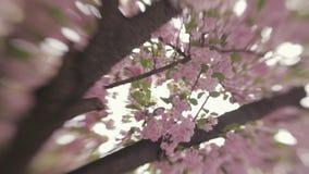 Wiosen okwitnięcia Okwitnięcie na Japońskim czereśniowym drzewie niebieska spowodowana pola pełne się chmura dzień zielonych rośl zbiory wideo