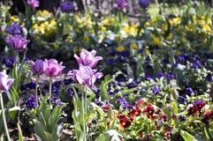 Wiosen pansies i tulipany Zdjęcia Royalty Free
