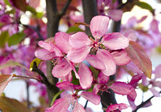 Wiosen piękne kwitnie gałąź Wiosny tło z bliska Wiosny kwiecenie Zdjęcie Royalty Free