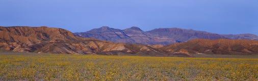 Wiosen Wildflowers, Śmiertelna dolina, Kalifornia zdjęcie royalty free