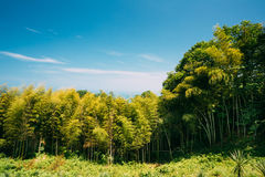 Wiosen Wysokich drzew bambusa drewna Światło słoneczne W Tropikalnym lesie, lato Zdjęcia Royalty Free
