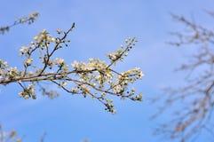 wiosenne drzewo bloom zdjęcie stock