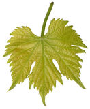 wiosenne liści winogronowy makro young Zdjęcie Stock