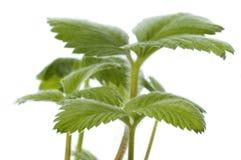 wiosenne roślin truskawki dziecko zdjęcia royalty free