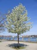 wiosenne wiśniowe drzewo Zdjęcia Royalty Free