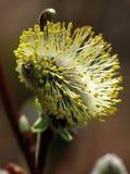 wiosenne willow zakwitnąć żółty Zdjęcia Stock