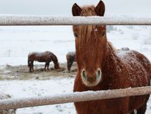 Wioska koń patrzeje ciekawie przy fotografem zdjęcie royalty free