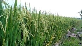 Wioski droga po środku ryżowych poly obraz royalty free