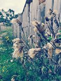 Wioski roślina Obrazy Stock