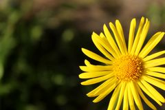 Wiosna Żółty kwiat od ogródu Obraz Royalty Free