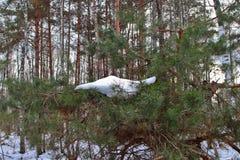 Wiosna śnieg na drzewie w lesie topi wkrótce obrazy stock