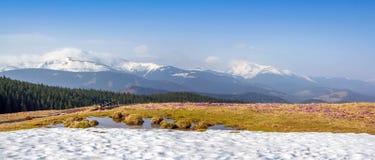 Wiosna śnieg topi i w Karpackich dolinach r pięknych wysokogórskich kwiatów krokusy, one jest także Geyfelya, pierwiosnki, góra obraz royalty free