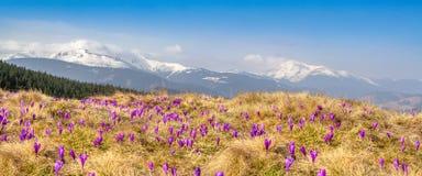 Wiosna śnieg topi i w Karpackich dolinach r pięknych wysokogórskich kwiatów krokusy, one jest także Geyfelya, pierwiosnki, góra zdjęcia royalty free