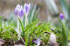 Wiosna świeży fiołkowy krokus, Luksemburg fotografia royalty free