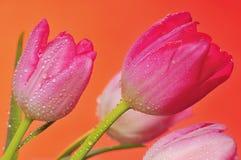 wiosna 3 tulipanu obrazy stock