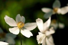 Wiosna anemony Fotografia Royalty Free