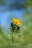 Wiosna bażanta ` s eyeAdonis vernalis Obrazy Royalty Free
